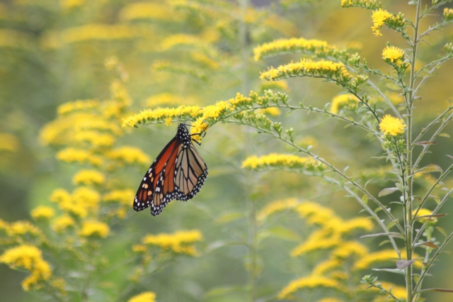 Monarch on Solidago canadensis. Perennials with many small flowers in the flowerhead, like the Goldenrod picture here and the Mountain Mint pictured above, are often very good at attracting beneficial insects.